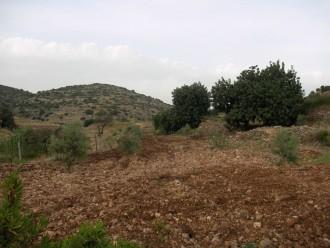 כמה מעצי הזית שמיועדים לפינוי בואדי קנה
